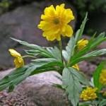 Билка Жълта съсънка - Anemone ranunculoides
