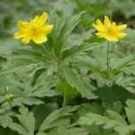 Жълта съсънка-билка- Anemone ranunculoides