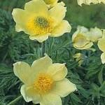 Random image: Жълта съсънка цвят- Anemone ranunculoides