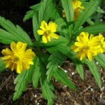 Жълта съсънка - Anemone ranunculoides