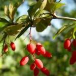 Кисел трън билка - Berberis vulgaris L.