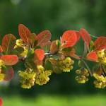 Кисел трън листа - Berberis vulgaris L.