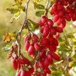 Random image: Кисел трън плод - Berberis vulgaris L.