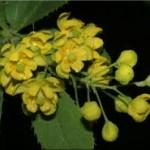 Random image: Кисел трън цвят - Berberis vulgaris L.