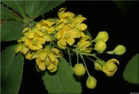 Кисел трън цвят - Berberis vulgaris L.