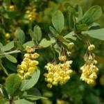 Random image: Кисел трън - Berberis vulgaris L.