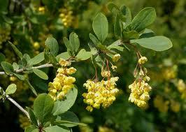 Кисел трън - Berberis vulgaris L.