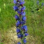 Лечебно растение Обикновено усойниче - Echium vulgare L.
