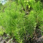 Random image: Лечебно растение Полски хвощ  - Equsetum arvensis