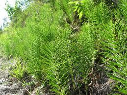 Лечебно растение Полски хвощ  - Equsetum arvensis