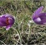 Полска съсънка билка– Anemone pulsatilla