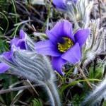 Random image: Полска съсънка в природата– Anemone pulsatilla