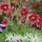 Полска съсънка – Anemone pulsatilla