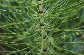 Полски хвощ стебло - Equsetum arvensis