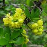 билка Кисел трън - Berberis vulgaris L.
