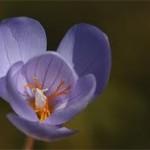 билка Мразовец цвят - Colchicum automnale