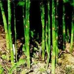Аспарагус-вертикални издънки - Asparagus officinalis L