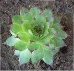 Random image: Белоцветен дебелец билка - Semprevivum leucanthum Panc
