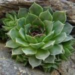Белоцветен дебелец - Semprevivum leucanthum Panc