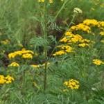 Билка Вратига в природата - Tanacetum vulgare L.