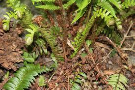 Билка  Наваличе в природата - Polystichum lonchitis (L.) Roth