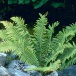 Билка Наваличе - Polystichum lonchitis (L.) Roth