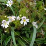 Билка Очанка - Euphrasia officinalis
