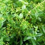 Random image: Брош билка - Rubia  tinctorum