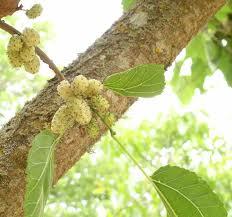 Бяла черница дърво -  Morus alba