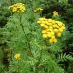 Random image: Вратига билка- Tanacetum vulgare L.
