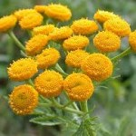 Вратига цвят- Tanacetum vulgare L.