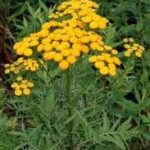 Вратига - Tanacetum vulgare L.