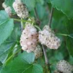 Лечебно растение - Бяла черница - Morus alba