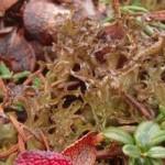 Random image: Лечебно растение Исландски лишей - Cetraria islandica (L.) Ach.