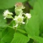 Random image: Малина цвят - Rubus idaeus L.