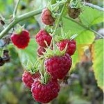 Малина - Rubus idaeus L.
