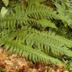 Random image: Наваличе Билка - Polystichum lonchitis (L.) Roth
