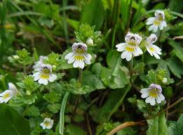Очанка билка - Euphrasia officinalis