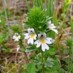 Очанка в природата - Euphrasia officinalis