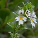 Random image: Очанка цветове - Euphrasia officinalis