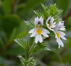 Очанка цветове - Euphrasia officinalis