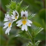 Очанка - Euphrasia officinalis
