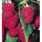 Плодове на Малина - Rubus idaeus L.