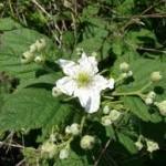 Цветове на Малина - Rubus idaeus L.