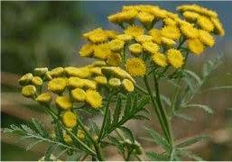 Цвят на билка Вратига - Tanacetum vulgare L.