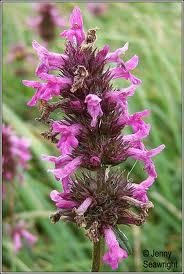 Цвят на билка Ранилист  -  Betonicae officinalis