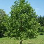 Черна елша дърво - Alnus glutinosa