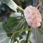 Random image: билка Бяла черница  -  Morus alba