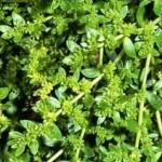 Билка Изсипливче - Herniaria glabra L.