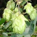 Билка Хмел - Humulus lupulus L.